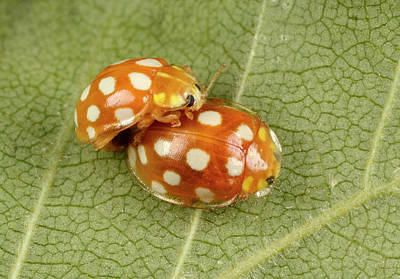 Copulation Photograph - Orange Ladybirds Mating by Nigel Downer