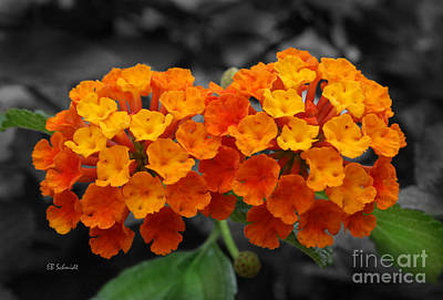 Photograph - Orange Lantana by E B Schmidt