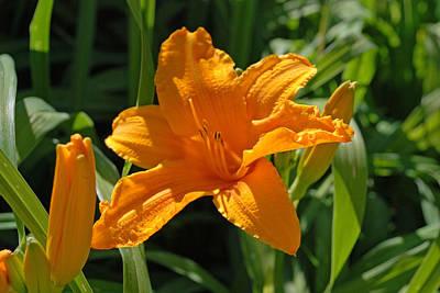 Lilium Bulbiferum Photograph - Orange Lily by Jlt Photography