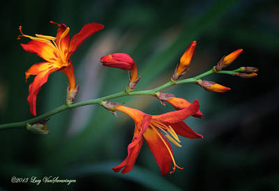Photograph - Orange Lily by Lucy VanSwearingen