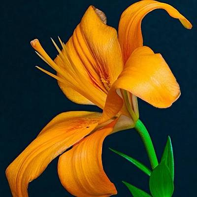 Lily Photograph - Orange Lily #orange #lily by Randy Walton