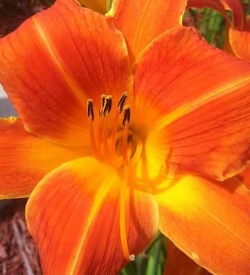 Art Print featuring the photograph Orange Lily by Saribelle Rodriguez