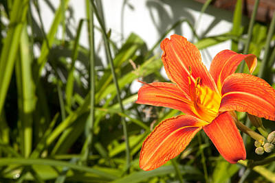 Photograph - Orange Lily by Scott Sanders