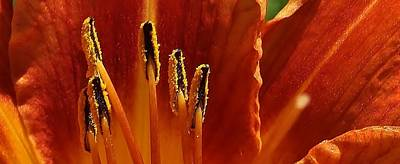 Photograph - Orange Lily Suprise by Bruce Bley