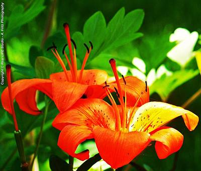 Photograph - Orange Lily's by Al Fritz