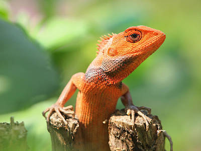 Orange Lizard Art Print by Neven Milinkovic