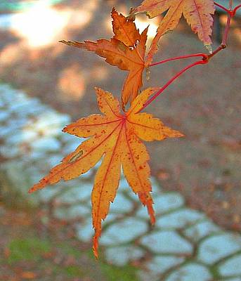 Orange Maple Leaves Art Print by Lorna Hooper