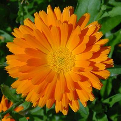 Photograph - Orange Marigold Close Up With Garden Background by Tracey Harrington-Simpson