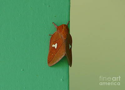 Photograph - Orange Moth by Lew Davis