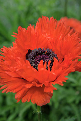 Blythewood Photograph - Orange Oriental Poppies, Usa by Lisa S. Engelbrecht