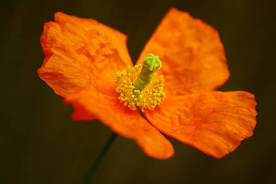 Photograph - Orange Paper Poppy by Alexandra  Rampolla