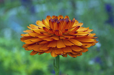Travel Rights Managed Images - Orange Petals Royalty-Free Image by Cathy Mahnke