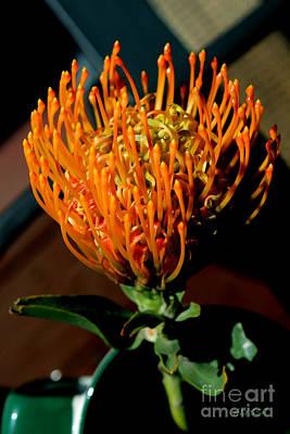Orange Pin Cushion Protea Art Print