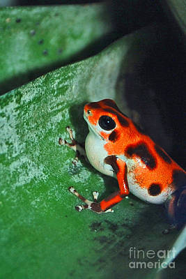 Digital Art - Orange Poison Dart Frog by Eva Kaufman
