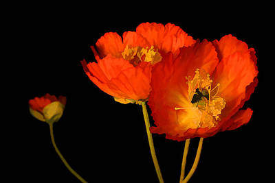 Photograph - Orange Poppies by Brian Davis