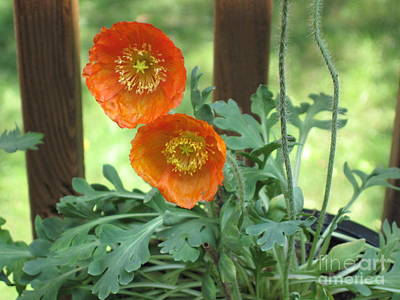 Photograph - Orange Poppies by HEVi FineArt