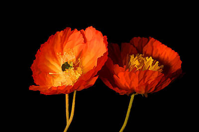 Photograph - Orange Poppies II by Brian Davis