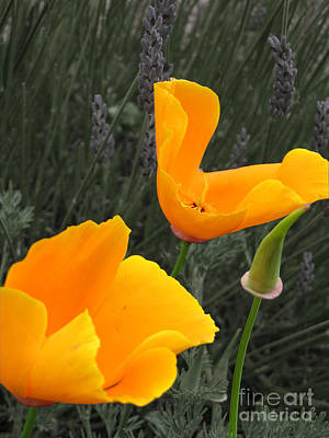 Photograph - Orange Poppies On Faded Lavender by Amber Nissen