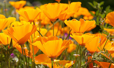 Rose Photograph - Orange Poppies Pop by WDM Gallery