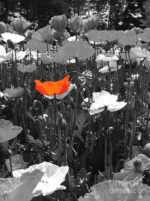 Photograph - Orange Poppy by Amber Nissen