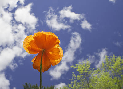 Photograph - Orange Poppy - Blue Sky by Keith Webber Jr