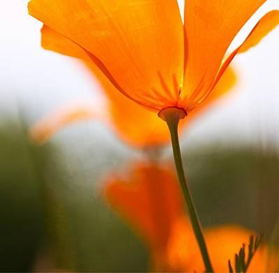 Photograph - Orange Poppy In Sunlight by Marie Jamieson