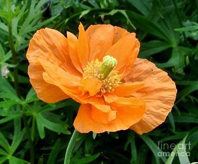 Photograph - Orange Poppy by Katy Mei