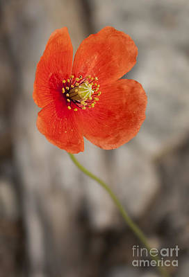 Photograph - Orange Poppy by Lena Auxier
