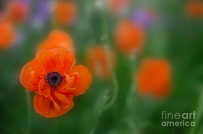 Photograph - Orange Poppy by Michael Arend