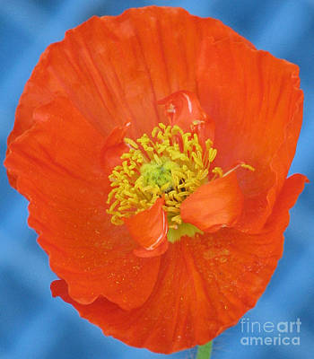 Photograph - Orange Poppy On Blue by Chris Anderson