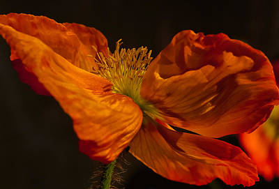 Photograph - Orange Poppy by Thomas Hall