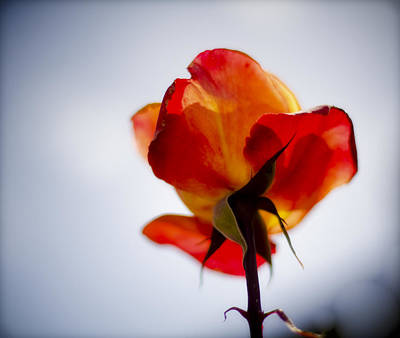 Photograph - Orange Rose Backlit by Ron White
