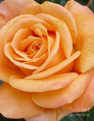 Photograph - Orange Rose Blossom Special by Paul Clinkunbroomer