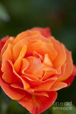 Photograph - Orange Rose by Brian Jannsen