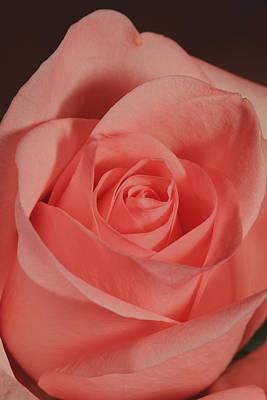 Photograph - Orange Rose Closeup by Alan Vance Ley