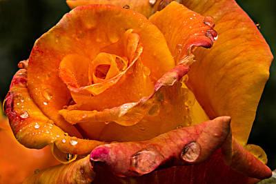 Photograph - Orange Rose Drops by Mary Jo Allen