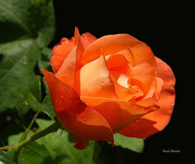 Art Print featuring the photograph Orange Rose by Haleh Mahbod