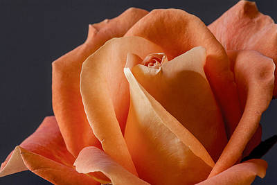 Photograph - Orange Rose I by Carol Erikson