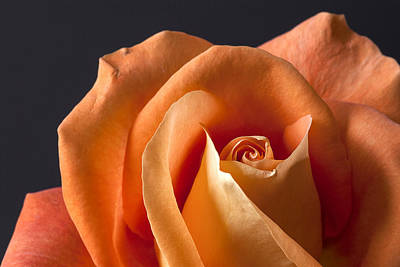 Photograph - Orange Rose II by Carol Erikson