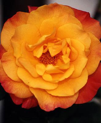 Photograph - Orange Rose by Robert Lozen