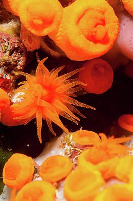 Orange Sea Anemones, Secca Della Art Print