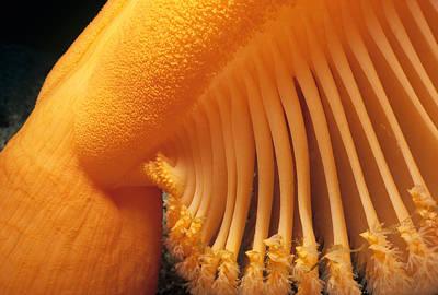 Orange Sea Pen Art Print