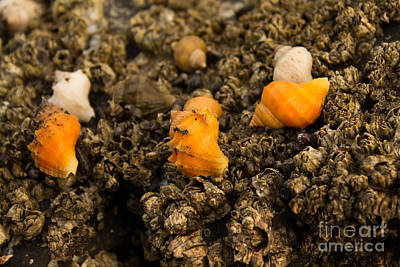 Photograph - Orange Seashells  by Deanna Proffitt
