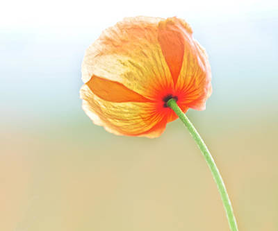 Photograph - Orange Sherbert Poppy by Lara Ellis