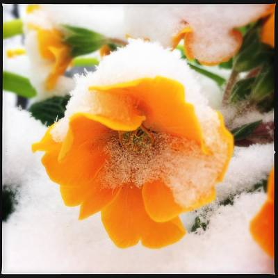 Orange Spring Flower With Snow Art Print
