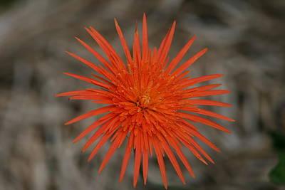Photograph - Orange Star Flower by Phoenix De Vries