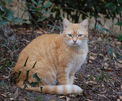 Photograph - Orange Stray Cat by RD Erickson