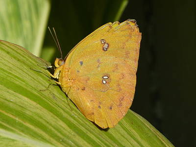Orange Sulphur Art Print by Krista Keck