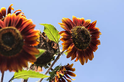 Photograph - Orange Sunflower Against A Blue Sky by Belinda Greb