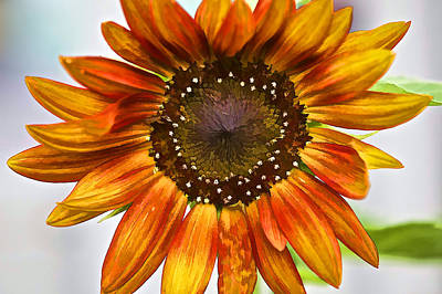 Photograph - Orange Sunflower  by David Letts